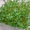 自宅で簡単水栽培!ブロッコリースプラウト